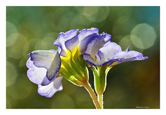 Flowers in spring sunshine. (Graham Pym On/Off) Tags: greatphotographers nikon bokeh sunlight petals flowers flora purple coth coth5 smileonsaturday springflower20172018 rainbowhalloffame9 nature
