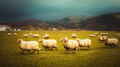 The flock (Ro Cafe) Tags: rural sheeps flock countryside landscape storm animals nature basquecountry itxassou france nikkor2470f28 nikond600