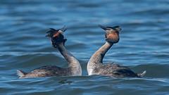 Svasso maggiore - Podiceps cristatus - Great Crested Grebe (vieri bertola) Tags: uccelli viverone svasso maggiore