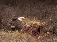 Bald Eagle on elk carcass (scepdoll) Tags: 2018 april1 baldeagle grandtetonnationalparkgrosventre jackson jacksonhole kelly nationalelkrefuge spring tetons wyoming birds elkcarcass sagebrush unitedstatesofamerica