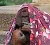 orangutan Bako Ouwehand BB2A5981 (j.a.kok) Tags: orangutan ouwehands orangoetan orang aap ape animal mammal monkey mensaap primaat primate asia azie bako zoogdier dier