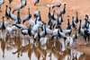 Migratory birds known as koonj, Khichan Village, Rajasthan (CamelKW) Tags: 2018 india rajasthan migratorybirds koonj khichanvillage hopardi in