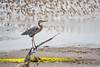 Great Blue Heron (Ardea herodias) (Jose Matutina) Tags: bird great blue heron ardea herodias bolsachica wildlife nature flight sony a7rii sel70300g huntington beach california orange county