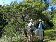 Arctostaphylos sp. MANZANITA (openspacer) Tags: arctostaphylos ericaceae herbariumteam jasperridgebiologicalpreserve jrbp people tree