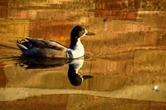 ... alone in the pond (Raquel Borrrero) Tags: swimming pond duck reflections golden water nikon reflejos ave pato agua estanque animal nature naturaleza natur