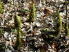 Moosmandeln (fotoculus) Tags: taunus oberursel käsbachtal pilzfreundesüdhessensulzbach moos