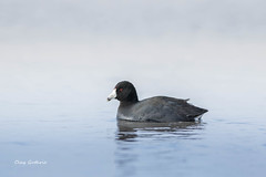 American Coot (clayguthrie13) Tags: missouri bird shorebird coot american water morning