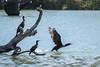 Great Cormorant and Little Black Cormorant - Loch Luna Game Reserve - Australia (wietsej) Tags: great cormorant little black loch luna game reserve australia rx10 iv rx10m4 bird flight bif nature