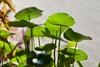 Lysima chiachristinae Hance (Cathy's Photography) Tags: grass green herb closeup macro macrocapture canon canon5dmarkiv canon5d ef100mmmacro ef100mmmacrolens ef100mm outdoor outside markiv