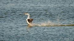 A4) Clarks's Grebes - Courtship (Bob Gunderson) Tags: aechmophorusclarkii birds california clarksgrebe concretebridge grebes lakemerced northerncalifornia sanfrancisco