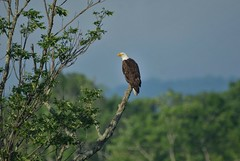 Bald Eagle by Jackie B. Elmore 5-20-2018 Lincoln Co. KY (jackiebelmore) Tags: haliaeetusleucocephalus baldeagle eagle cedarcreeklake lincolnco kentucky nikon7100 tamronsp150600f563 jackiebelmore kos