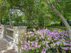 Spring at the Arboretum - 2018 (gttexas) Tags: 2018 arboretum azalea dallas tx texas flower usa