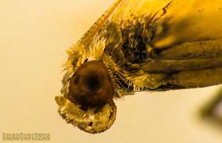 moth - side profile potrait