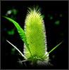 Natural Wonder (dimaruss34) Tags: newyork brooklyn dmitriyfomenko image flower fullersteasel