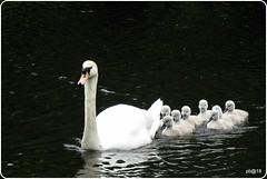 Mum  plus  Eight (pete Thanks for 5 Million Views) Tags: animalplanet wickedweasel bto hwcp nikonp900 essexwildlifetrust park summer cygnet cygnets river colne