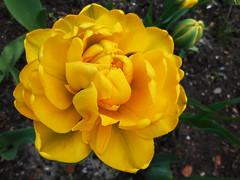 Spring Tulips 1 (rimasjank) Tags: spring yellow tulip