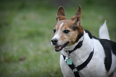 Big Sister (c.marney) Tags: jack russell terrier