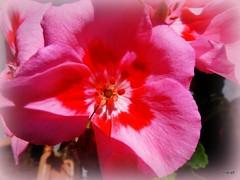 Printemps lumineux (marief76) Tags: printemps fleurs galeries éraniums couleur ombre lumière