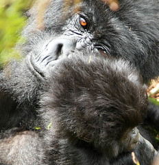 Gorillas - Volcanoes National Park - Rwanda (lotusblancphotography) Tags: nature wildlife faune africa afrique rwanda safari animal gorilla gorille