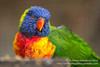 Swainson's Lorikeet (Ashley Middleton Photography) Tags: cotswolds lorikeets rainbowlorikeet unitedkingdom bird cotswoldwildlifepark england swainsonslorikeet parrot europe animal burford oxfordshire gb