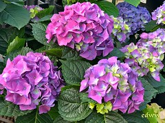 "Hydrangeas April Flowers (EDWW day_dae (esteemedhelga)™) Tags: garden nature season flower splants bloom botany nursery parks blossom perennial annual bud cluster floret efflorescence seedling biennial greenery bouquet posy rosette natura mothernature greatmotherdamenature"" vegetation horticulture flora botanical juncture natural beauty creation siring passion sprout esteemedhelga edww daydae"