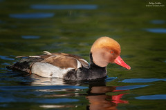 Red-crested Pochard (Aditya.Sridhar) Tags: red crested pochard nikon d850 300mm pf f4e london wildlife bird birds nature photography st jamess park james uk united kingdom 2018 water waterbird waterbirds duck ducks color colours colorful colourful beautiful
