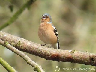 Singing male chaffinch from easter weekend in a glimmer of sunshine