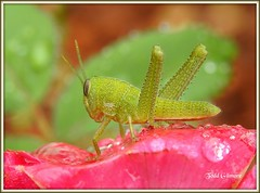 Grasshopper (todd5524) Tags: grasshopper insect amazing macro photography photoshop outdoors nikon coolpix close colors colorful