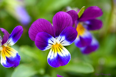 Violet... (Maria Godfrida) Tags: nature flowers violets flora colourful closeup macro bokeh purple blue