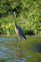 The Catch (Ed McKaveney) Tags: alleghenycounty bird environment fishing greatblue heron northpark pennsylvania