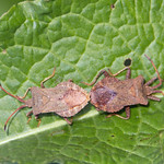 Mating Dock Bugs (Coreus marginatus) - Cullompton Leat Fields, Devon - 18 May 2018 thumbnail
