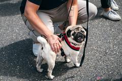 PugCrwal-176 (sweetrevenge12) Tags: portland oregon unitedstates us pug parade crawl brewing sony pugs dog pet