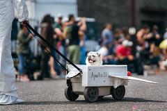 PugCrwal-75 (sweetrevenge12) Tags: portland oregon unitedstates us pug parade crawl brewing sony pugs dog pet