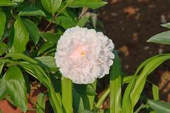 Paeonia lactiflora Sarah Bernhardt (douneika) Tags: paeonia lactiflora sarah bernhardt taxonomy:family=paeoniaceae taxonomy:binomial=paeonialactiflorasarahbernhardt