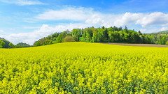 Rapsfeld in Otelfingen 24.4.2018 0215 (orangevolvobusdriver4u) Tags: 2018 archiv2018 otelfingen suisse schweiz switzerland kantonzürich rapsfeld landwirtschaft feld farm landschaft landscape