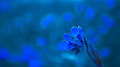 Ethereal blue. (skybluesky43) Tags: art artistic blue blues dream visions soft bokeh silky nature sonho azul ethereal sigma 1835 nikon d7100 feelings emotions flower flowers flores deep minimal abstract
