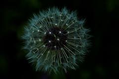 Dandelion vu de dessus _9284 (ichauvel) Tags: dandelion pissenlit fleur flower nature flore exterieur mai may ardéche rhonealpes france europe westerneurope printemps spring beautédelanature beautyofnature détails getty