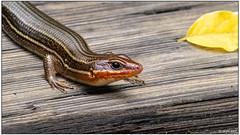 Broadhead Skink (male) DSC_9884 (blindhogmike) Tags: wildlife macro lizard reptile skink columbia sc south carolina