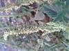 முள்ளுக்கீரை 4 (Amaranthus spinosus ) (Dr.S.Soundarapandian) Tags: tamilnadu india greens leafy thorny edible food plant grey cloth dye famine