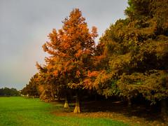 Árvores no Parque São Lourenço (Eduardo PA) Tags: curitiba paraná nokia pureview microsoft windows phone 950xl lumia wp árvores no parque são lourenço