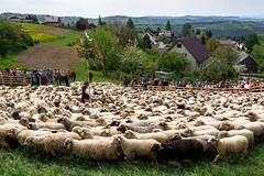 Redyk w Koniakowie / Sheep parade (PolandMFA) Tags: koniaków śląskie poland pl redyk sheep parade pasterstwo shepherding tradycja tradition beskidy polska góry mountains