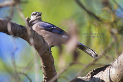 Blue Jay (SashaAzevedoPhotography) Tags: nature wildlife ornithology birds birding perchingbirds songbirds jays bluejay cyanocittacristata lowcountry charleston southcarolina sc lowcountryaudubon charlestonaudubon audubonsouthcarolina scaudubon sashaazevedo 2018photos 2018photoarchive