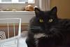 Look into my eyes.... (rootcrop54) Tags: batman tuxedo longhaired polydactyl extratoes dishdrainer kitchen male cat neko macska kedi 猫 kočka kissa γάτα köttur kucing gatto 고양이 kaķis katė katt katze katzen kot кошка mačka gatos maček kitteh chat ネコ