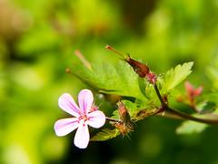 Garden flower (Andy Sut) Tags: flower nottingham bud garden nature england lumix andysutton bridgecamera amateur