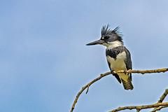 Kingfisher (begineerphotos) Tags: kingfisher bird branch sky blue calgary alberta inglewoodbirdsanctuary beltedkingfisher megacerylealcyon beginnerdigitalphotographychallengewinner