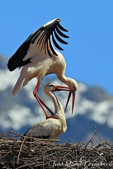 Cópula (ivánmoral) Tags: cigüeñas elboalo madrid sierra guadarrama lapedriza cópula cortejo nido aves