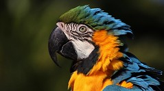 Macaw ... (Hannah 0013) Tags: macaw canon bird colors coth5