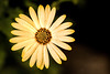 Macro African Daisy 3-0 F LR 2-28-18 J246 (sunspotimages) Tags: flower flowers daisies daisy yellow yellowflowers yellowflower yellowdaisies yellowdaisy africandaisies africandaisy yellowafricandaisy yellowafricandaisies nature