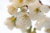 I hope it will be cherries (de_frakke) Tags: white flowers blossom cherry fruit bloemen wit