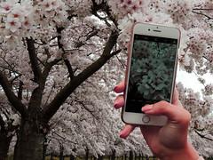 Immortalize the cherry blossom EXPLORED! (Shahrazad26) Tags: sakura kersenbloesem cherryblossom amsterdamsebos amsterdam amstelveen noordholland nederland thenetherlands paysbas holland photo foto bild iphone smartphone